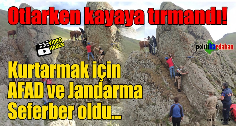 Kayaya tırmanan büyükbaşı AFAD ve Jandarma kurtardı